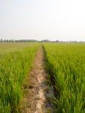 cornfield Fotos de Stock Royalty Free