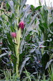 cornfield Fotografie Stock Libere da Diritti