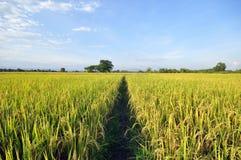 cornfield Immagini Stock Libere da Diritti