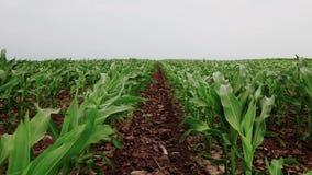 cornfield archivi video