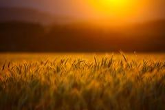 cornfield Imagens de Stock