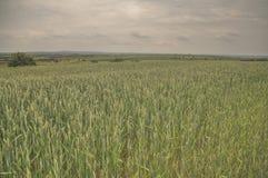 cornfield photos libres de droits