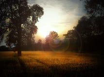 cornfield Image stock