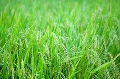 cornfield images stock