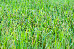 cornfield image libre de droits