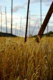 cornfield Arkivfoton