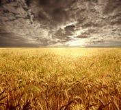 cornfield Στοκ Εικόνες