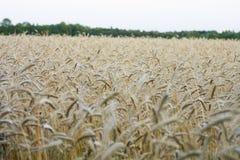 cornfield Foto de Stock