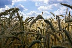 cornfield Fotografia de Stock Royalty Free
