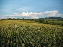 cornfield Fotos de Stock