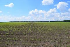 cornfield Stock Foto's