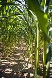 Cornfield. A row of a cornfield Royalty Free Stock Images