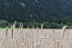 cornfield Lizenzfreies Stockbild