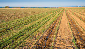 cornfield Photo libre de droits