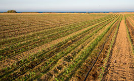 cornfield Images libres de droits