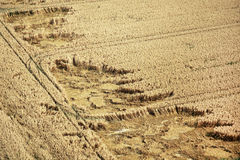 Cornfield from above royalty free stock photography