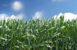 Cornfield against a blue sky Stock Image
