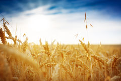 Cornfield against a blue sky. Golden yellow Royalty Free Stock Photos