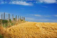 Cornfield against a blue sky Stock Photography