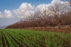 Cornfield and almond grove Royalty Free Stock Image