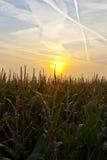 Cornfield At Sunrise Stock Image