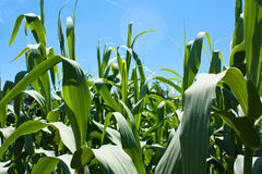 Cornfield Background. Background image of corn plants growing against a sunny blue sky Stock Photos