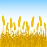 Cornfield background Stock Images