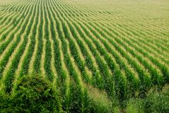 Cornfield background. Corn field or cornfield background Royalty Free Stock Photography