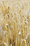 Cornfield background brown Royalty Free Stock Image