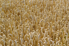 Cornfield background gold brown Stock Image
