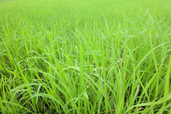 Cornfield. Background Green of Cornfield in thailand royalty free stock image