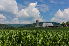Cornfield With Barn, Mountains, and Fluffy Clouds. Dramatic blue summer sky filled with big cumulus clouds providing background for sunny summer farm with tall Royalty Free Stock Photo