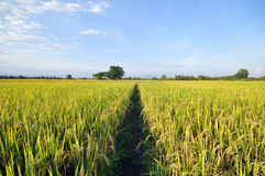 Cornfield. Beautiful cornfield in chiangmai thailand Royalty Free Stock Images