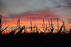 Cornfield. With a beautiful sunset in the backgruond Stock Images