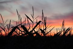 Cornfield. With a beautiful sunset in the backgruond Royalty Free Stock Photos