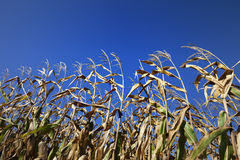 Cornfield and blue clear sky at nice sun day Royalty Free Stock Photography