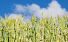 Cornfield in blue sky Stock Photo