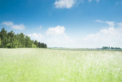 Cornfield and Blue Sky Royalty Free Stock Images