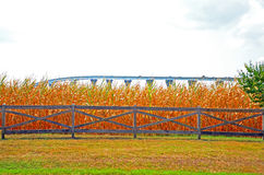 Cornfield with Bridge Royalty Free Stock Photo