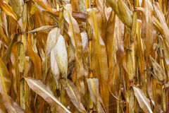 Cornfield. Royalty Free Stock Images