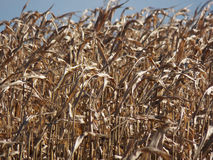 Cornfield (Close-Up) Stock Images
