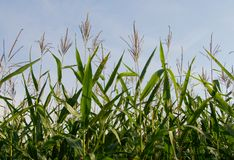 Cornfield Royalty Free Stock Photography