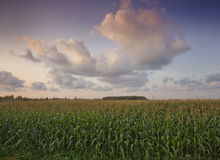 Cornfield and cloudscape Royalty Free Stock Photography