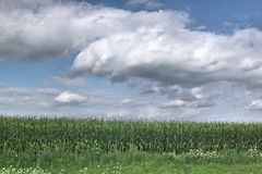 Cornfield and cloudy sky. Beautiful fluffy white clouds and a blue sky above a corn field Royalty Free Stock Images