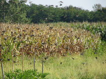 Cornfield and common starlings Royalty Free Stock Image