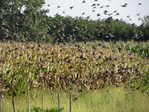 Cornfield and common starlings Royalty Free Stock Images