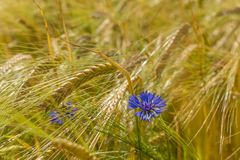 Cornfield with cornflower Royalty Free Stock Images