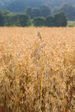 Cornfield in countryside Stock Photography