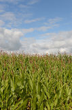 Cornfield in countryside Royalty Free Stock Photo