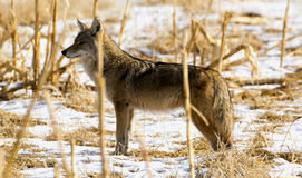 Cornfield Coyote. A Coyote posing in an old snow covered cornfield stock photos